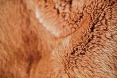 Beautiful redhead fur Rex rabbit for clothing Stock Photos