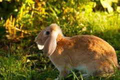 Beautiful redhead rabbit stock images