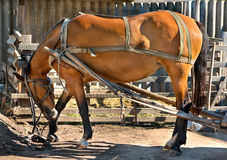 Horse in harness. Beautiful redhead working a horse in harness outside in the summer weather Royalty Free Stock Photography