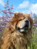 Beautiful redheaded chow-chow. On a background of the blue sky Stock Image
