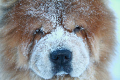 Beautiful redheaded dog in a snow Stock Photos