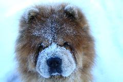 Beautiful redheaded dog in a snow royalty free stock photo