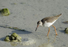 Beautiful Redshank feeding during low tide Stock Photo
