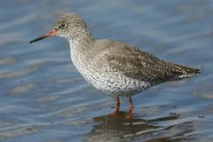 A beautiful Redshank Tringa totanus hunting for food in a shallow pool of water in a grassy field. A Redshank Tringa totanus hunting for food in a shallow pool Royalty Free Stock Photos