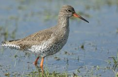 A beautiful Redshank Tringa totanus hunting for food in a shallow pool of water in a grassy field. A Redshank Tringa totanus hunting for food in a shallow pool Stock Photo