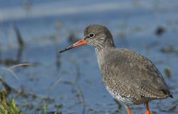 A beautiful Redshank Tringa totanus hunting for food in a shallow pool of water in a grassy field. A Redshank Tringa totanus hunting for food in a shallow pool Stock Photos