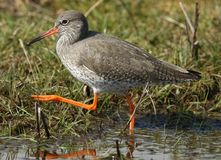 A stunning Redshank Tringa totanus hunting for food in a shallow pool of water in a grassy field. A beautiful Redshank Tringa totanus hunting for food in a Stock Photos