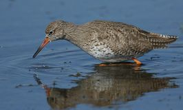 A beautiful Redshank Tringa totanus hunting for food in a shallow stretch of water. The wading birds reflection showing in the water Royalty Free Stock Photography