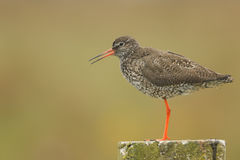 A beautiful Redshank Tringa totanus perched on a post calling. Stock Photo