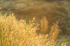 Beautiful reed flower background with warm light Stock Image
