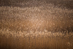 A beautiful reed pattern in a sunny spring day Royalty Free Stock Images