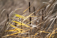 Beautiful reeds - as a background Royalty Free Stock Photos
