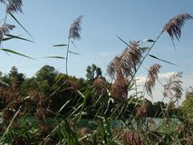 Beautiful reeds in the french alps mountain. royalty free stock images