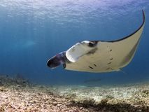 Majestic reef manta stock photo