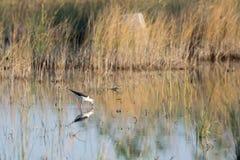 Beautiful reflection of a himantopus himantopus bird on it's natural environment. Stock Photos