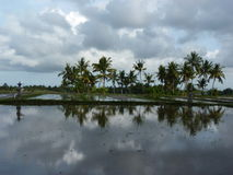 Beautiful reflection of palm trees and a farmer in the water on the beautiful rice fields. Bali. Indonesia Stock Photography