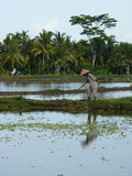 Beautiful reflection of palm trees and a farmer in the water on the beautiful rice fields. Bali. Indonesia Royalty Free Stock Photography