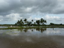 Beautiful reflection of palm trees in the water on the beautiful rice fields. Bali. Indonesia royalty free stock image
