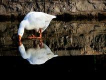 White Goose. Beautiful reflection photo of white goose drinking water stock photos