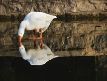 White Goose. Beautiful reflection picture of white goose stock photo