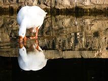 White Goose mirrored royalty free stock image