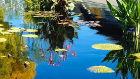 Beautiful reflection of pink water lily and lily pads Royalty Free Stock Photos