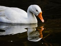 White goose. Beautiful reflection shot of white goose in lake stock photography