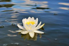 Beautiful white lily on the blue river Royalty Free Stock Images