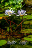 Beautiful Reflections of a Pair of Tropical White Water Lily Flower Royalty Free Stock Images