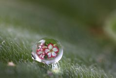 Beautiful reflex of flower in water drop Stock Photography