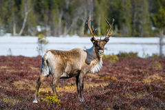 Beautiful reindeer bull looking directly into the camera. In northern Sweden Stock Photos