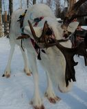 Beautiful reindeer in Finnish lapland. In Lapland reindeer husbandry is an important livelihood. Reindeer are semi wild animals. They are an icon for Lapland and stock images