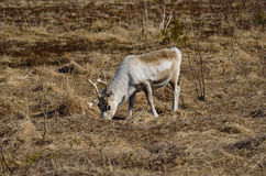 Beautiful reindeer grazing Stock Photo