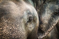 Beautiful rescued Thai Elephant close up the head. The Beautiful rescued Thai Elephant close up the head royalty free stock images