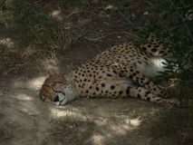 The beautiful resting cheetah royalty free stock photo