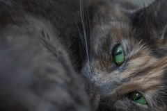 Beautiful resting grey cat with green eyes royalty free stock image