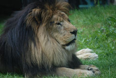 Beautiful Resting Lion in Tall Green Grass Royalty Free Stock Photos