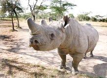 A beautiful Rhino at orphanage of Ol Pejeta Conservancy, Kenya. A blind black Rhinoceros kept at orphanage, Ol Pejeta Conservancy, kenya Stock Photo
