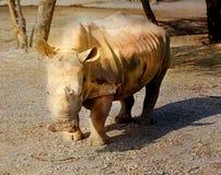Beautiful Rhino in the Safari Royalty Free Stock Images