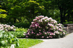 Beautiful Rhodendron bush in a park. Pink rhodendron bush, in garden, park Royalty Free Stock Photo