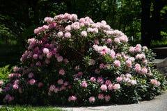 Beautiful Rhodendron bush in a park. Pink rhodendron bush, in garden, park Royalty Free Stock Photos