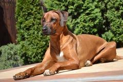 Smart attentive dog Rhodesian Ridgeback Royalty Free Stock Photos
