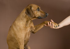 Human hand holding dogs paw Stock Images