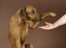 Dog giving paw. Beautiful Rhodesian Ridgeback dog sitting in front of brown background. The pet is giving its paw to a human female hand Royalty Free Stock Photo