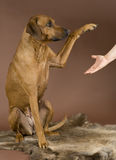 Dog giving paw to human. Beautiful Rhodesian Ridgeback dog sitting on a Reindeer fur in front of brown background. The pet is giving its paw to a human female Stock Photo
