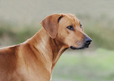 Beautiful Rhodesian Ridgeback female dog royalty free stock images