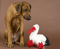 Dog with stork toy Royalty Free Stock Photography