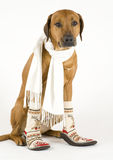Dog with scarf and socks Royalty Free Stock Image