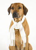 Sick dog with a cold Royalty Free Stock Photo
