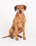 Beautiful Rhodesian Ridgeback male dog Royalty Free Stock Photos
